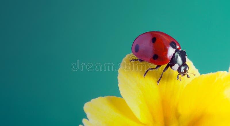 红色瓢虫在黄色花,瓢虫在植物词根在春天爬行在庭院里在夏天 免版税库存照片