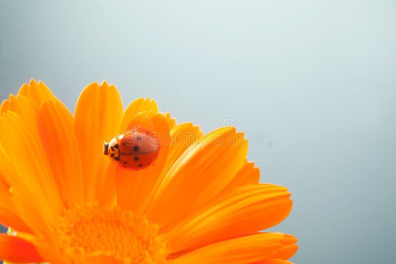 红色瓢虫在黄色花, 免版税库存照片