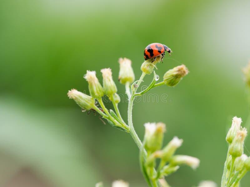 红色瓢虫坐在绿色背景的一片叶子,关闭  免版税库存图片