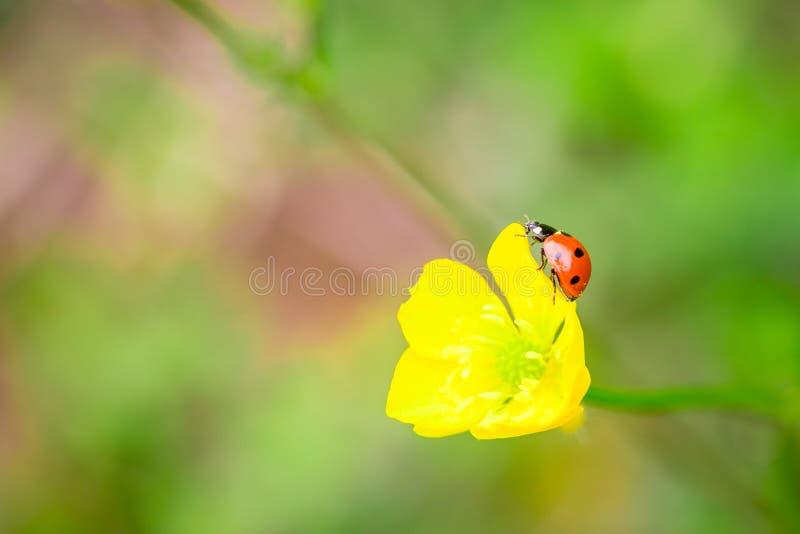 红色瓢虫特写镜头在黄色花的有软的被弄脏的背景 免版税库存照片