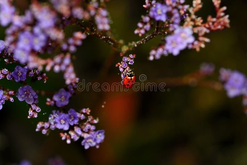 红色瓢虫-瓢虫科 免版税库存照片