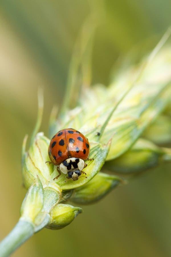红色瓢虫 库存图片