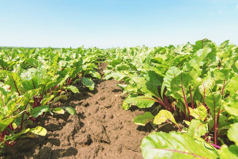 红色甜菜根的领域 年轻绿色甜菜根植物 库存图片