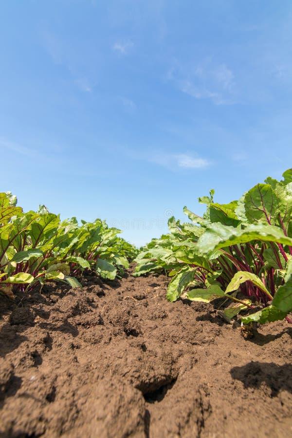 红色甜菜根的领域 年轻绿色甜菜根植物 免版税库存图片
