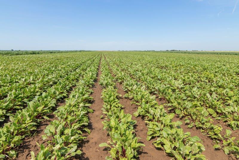 红色甜菜根的领域 年轻绿色甜菜根植物 免版税库存照片