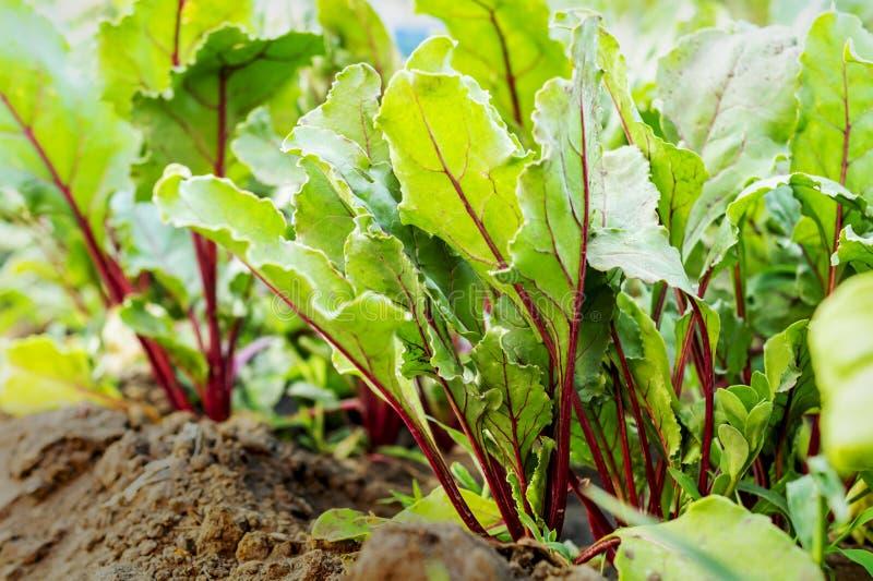红色甜菜甜菜根生长在菜园里的,特写镜头绿色叶子上面  增长的健康食品的概念和有机 免版税图库摄影