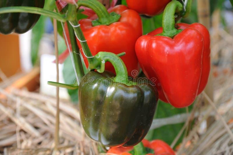 红色生长的胡椒 免版税库存图片