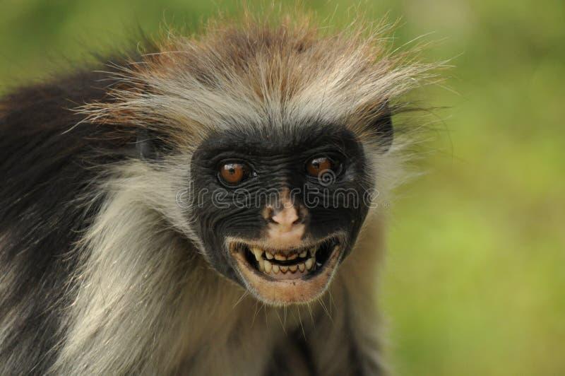 红色疣猴猴子 库存照片