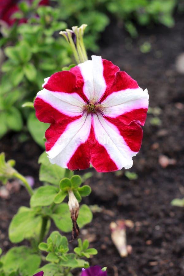 红色白色喇叭花hybrida在庭院里 免版税库存图片