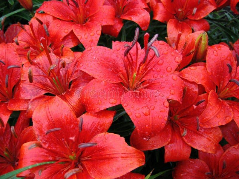 红色百合的雨珠 库存图片