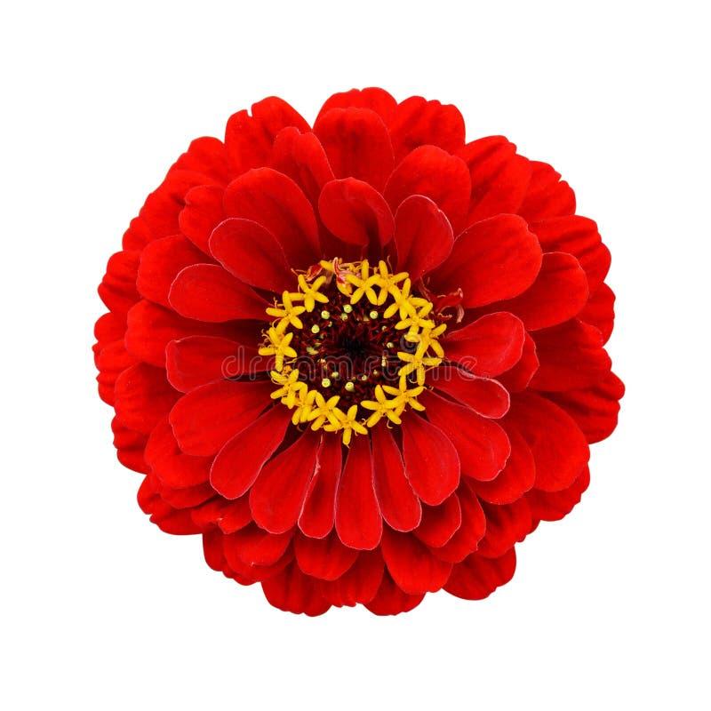 红色百日菊属花 免版税库存照片