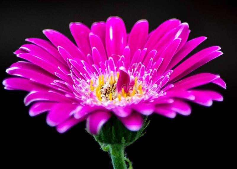 紫红色的和平与爱情 库存照片