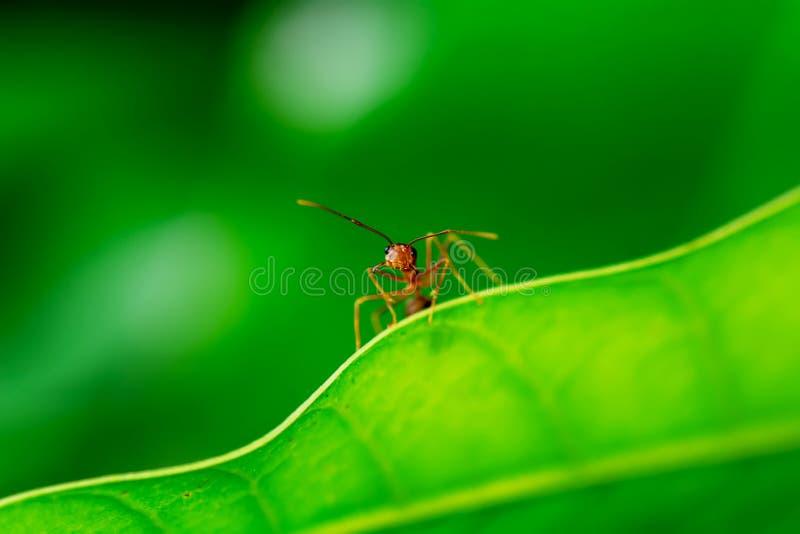 红色的蚂蚁选拔 免版税库存图片