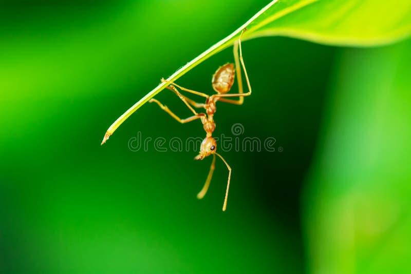 红色的蚂蚁选拔 图库摄影