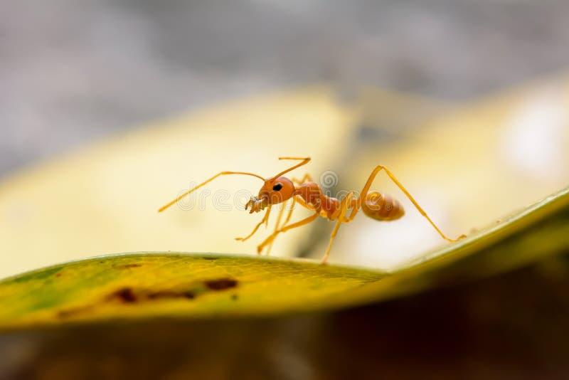 红色的蚂蚁选拔 免版税库存照片