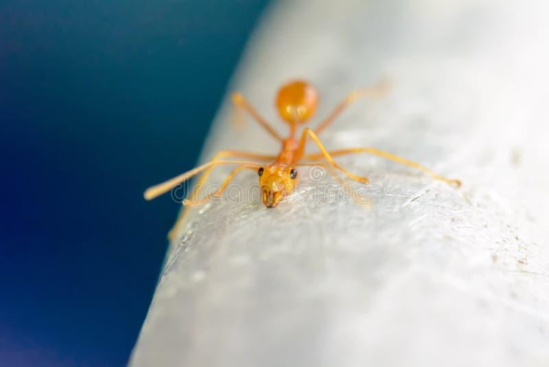 红色的蚂蚁选拔 库存图片