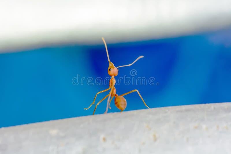 红色的蚂蚁选拔 库存照片