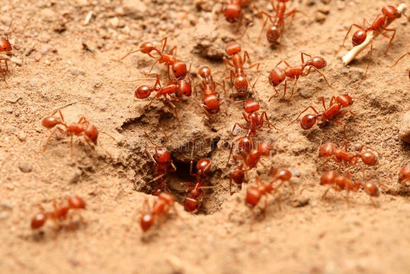 红色的蚂蚁 免版税库存图片
