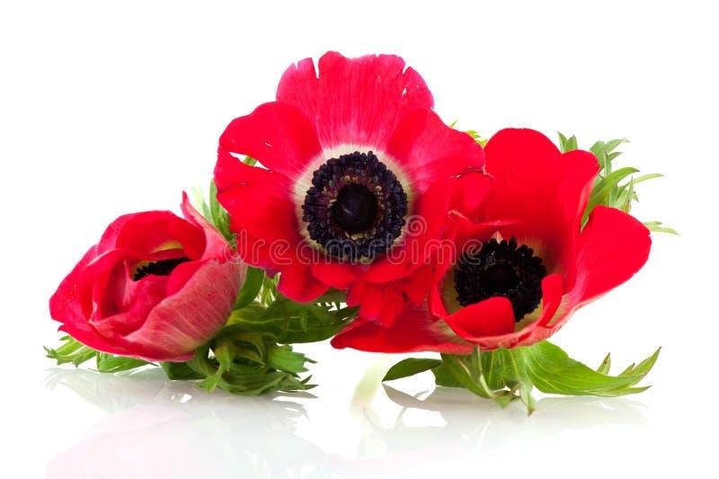 红色的银莲花属 库存照片