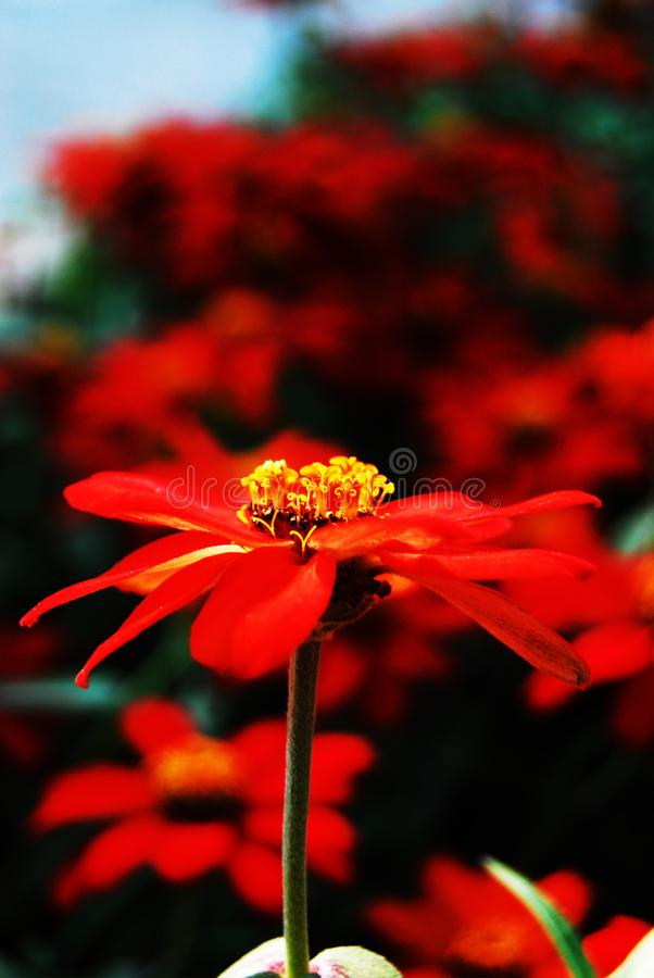 红色的雏菊 免版税库存照片