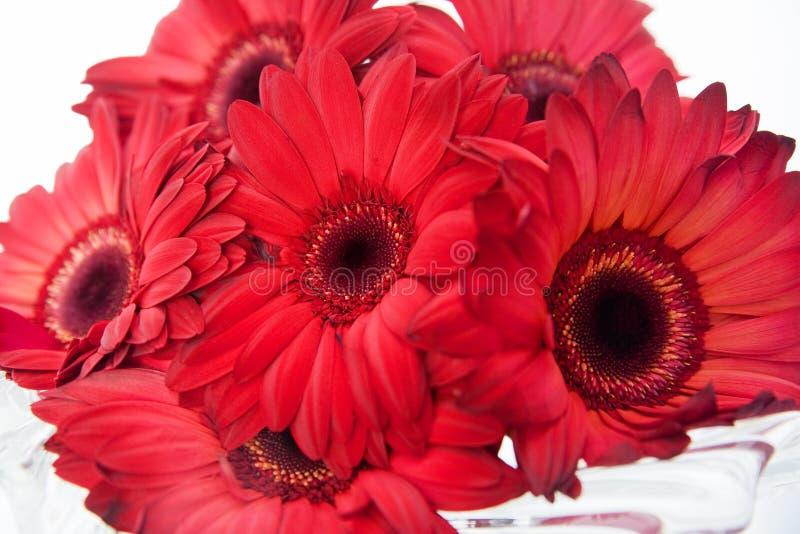 红色的雏菊 库存图片