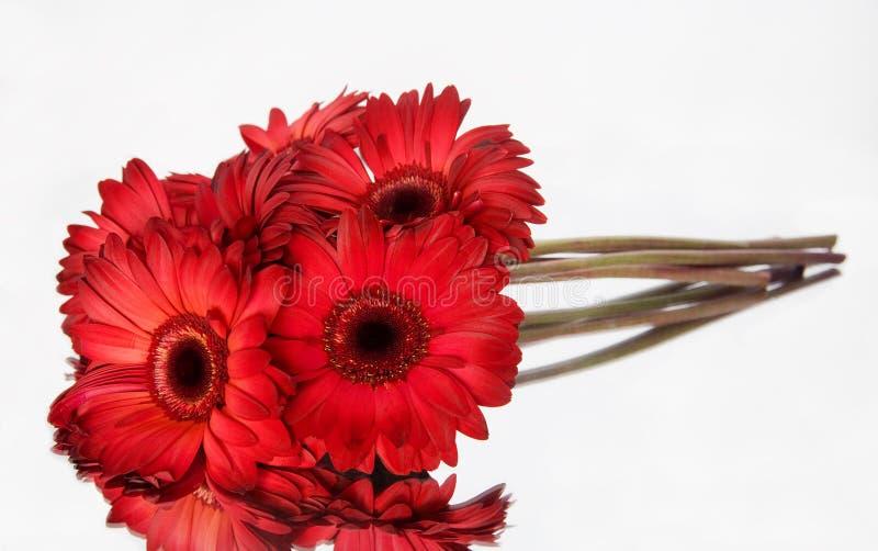 红色的雏菊 图库摄影