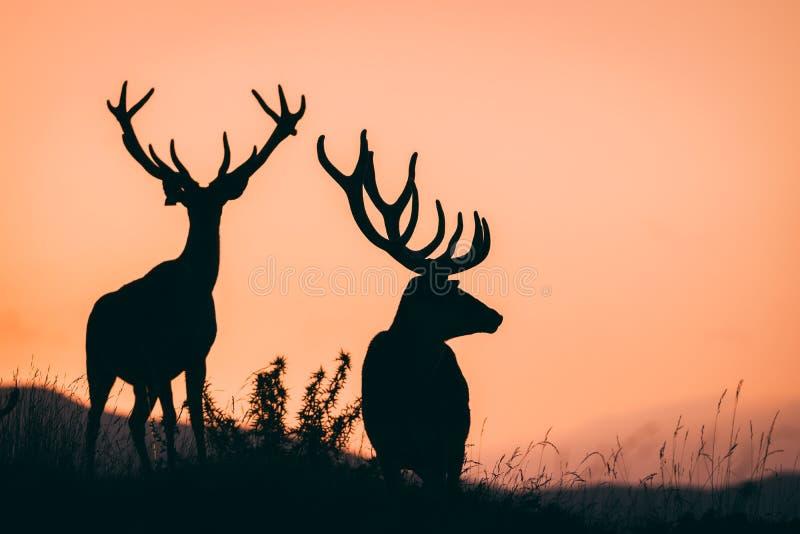 红色的deers 库存图片