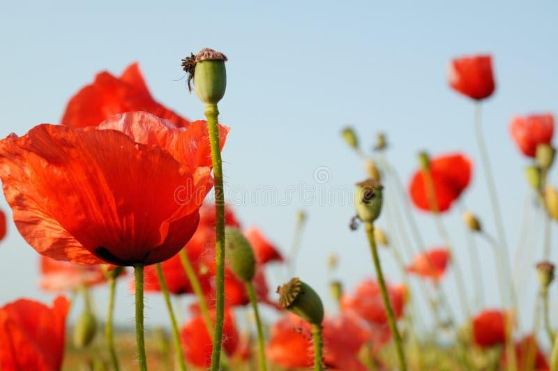 红色的flowerses 免版税库存图片