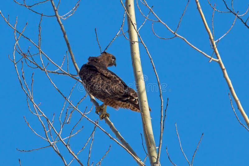红色盯梢了在树栖息的鹰 图库摄影