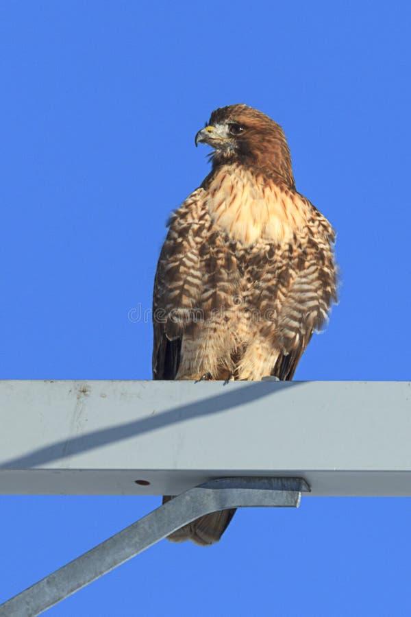红色盯梢了鹰被栖息上流 免版税图库摄影