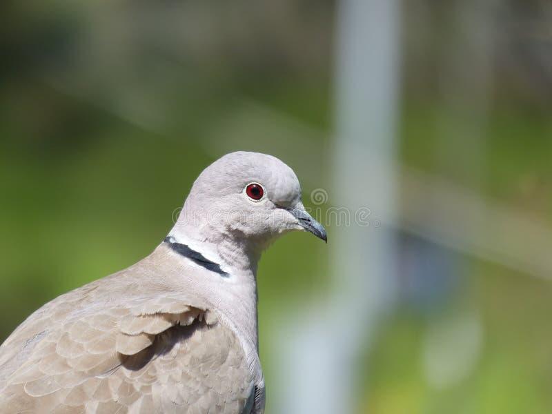 红色眼睛鸽子 图库摄影