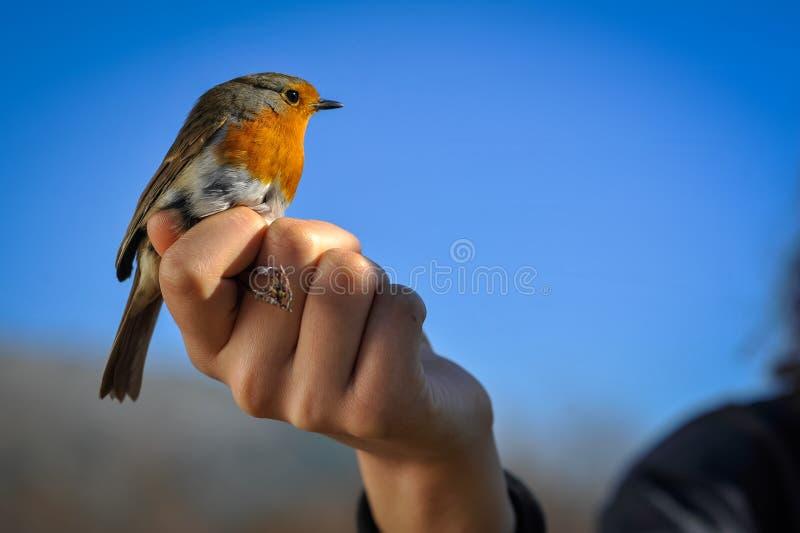 红色知更鸟在人的手上 图库摄影