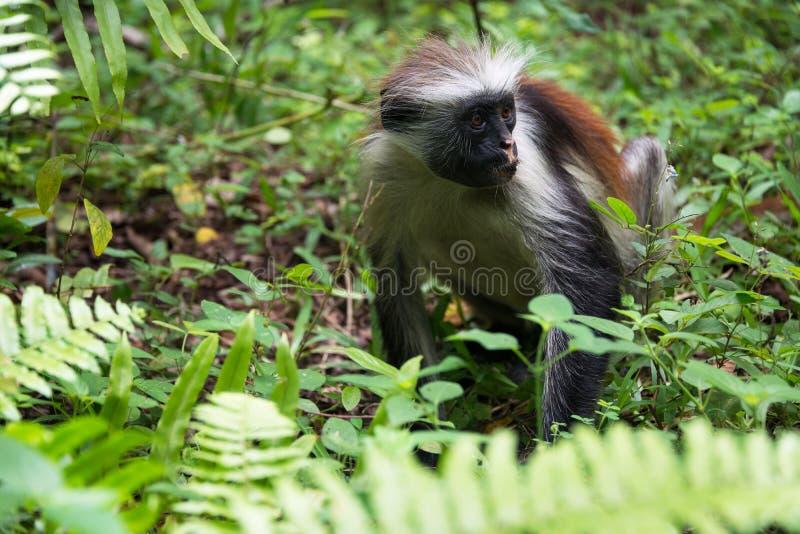 红色短尾猴, Jozani森林,桑给巴尔 库存图片