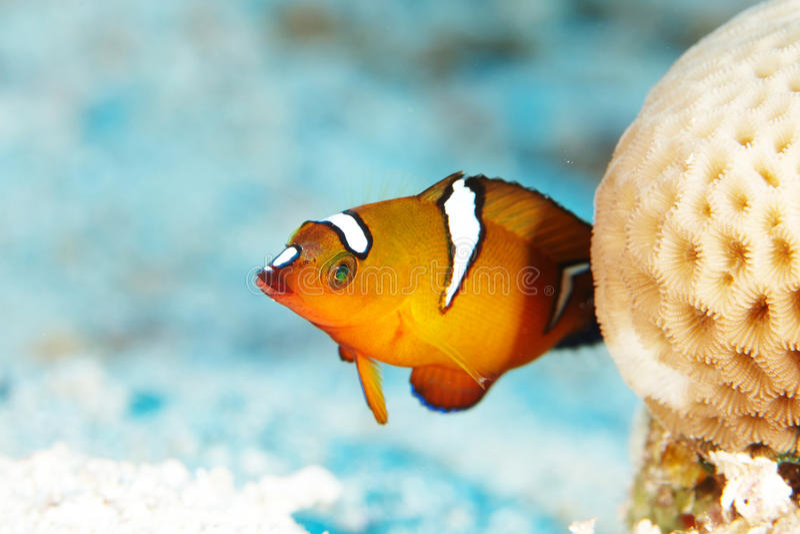 红色礁石鱼 库存图片
