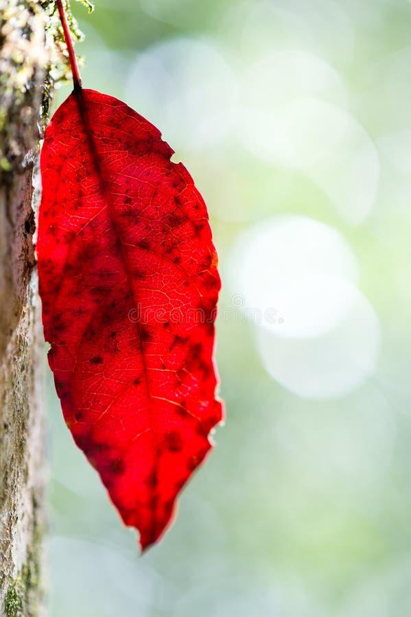 红色秋天叶子 免版税库存照片