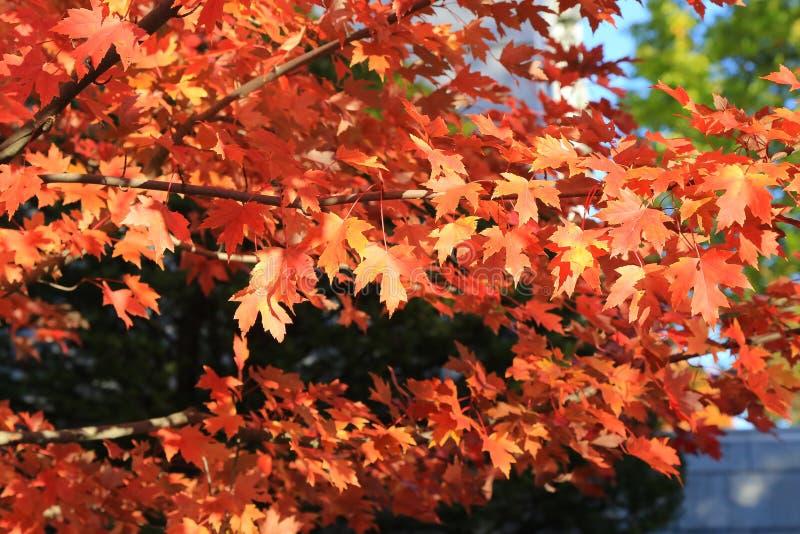 红色秋天在蒙彼利埃,美国 库存图片