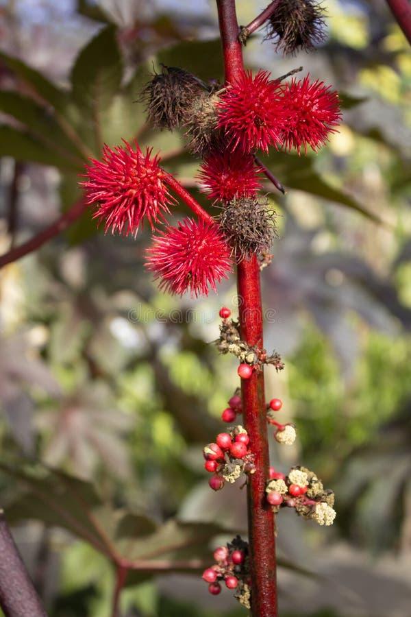 红色秋天果子花的关闭在庭院里 免版税库存图片