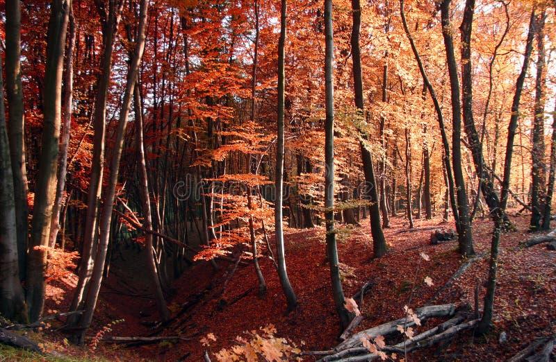 红色秋天森林自然季节性背景 库存照片