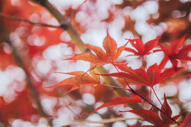 红色秋天槭树离开背景 库存照片