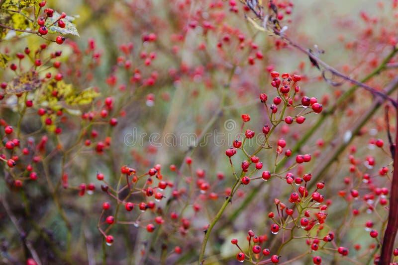 红色秋天浆果图片