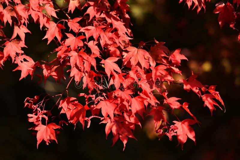 红色秋天/秋季叶子 库存图片