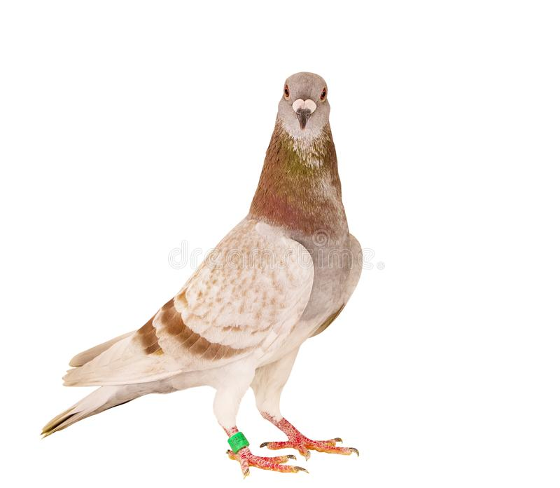 红色粉性的站立被隔绝的白色背景的羽毛赛鸽画象充分的身体  免版税库存图片
