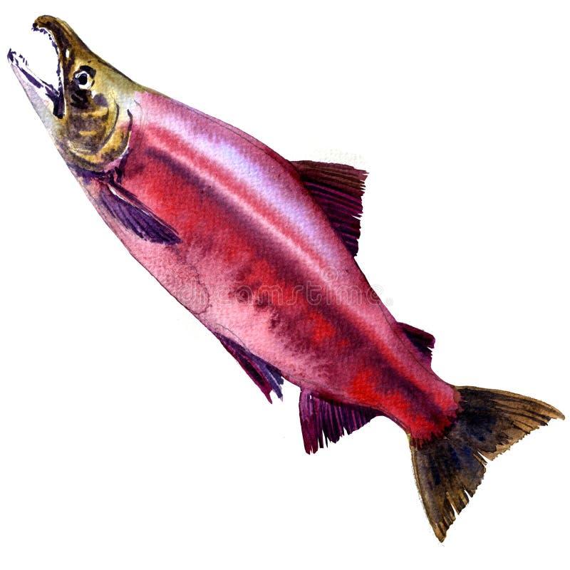 红色红大马哈鱼, Kokanee三文鱼, Oncorhynchus nerka被隔绝,水彩例证 向量例证