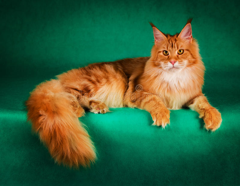 红色缅因树狸猫画象在绿色背景的 免版税库存图片