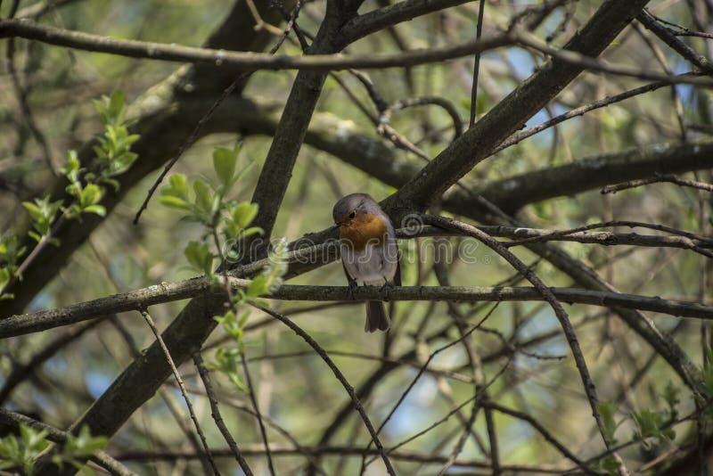 红色罗宾画眉rubecula鸟关闭在森林里 免版税库存照片