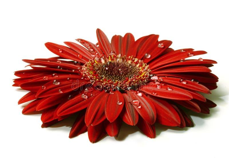 红色美丽的大丁草的雨珠 图库摄影