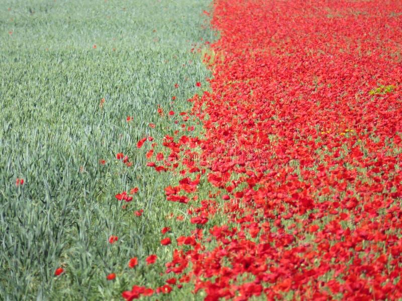 红色美丽的花和谷物绿色 库存照片