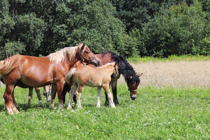 红色耕马家庭在豪华的绿草吃草 公马和成人牵引马 畜牧业和种田 Educatio 免版税库存照片