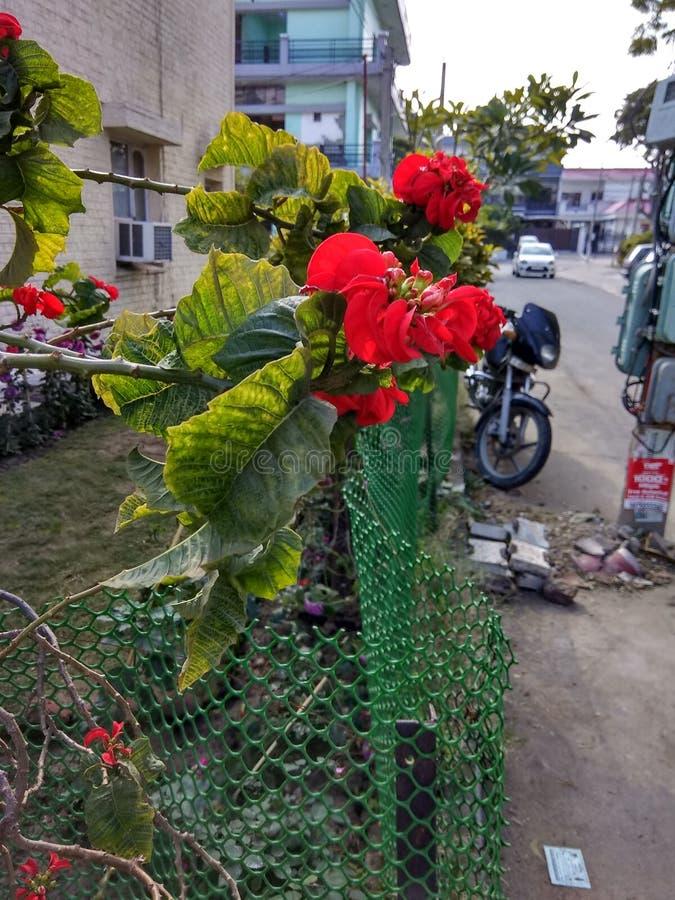 红色花区段,59莫哈里旁遮普邦印度 免版税库存照片