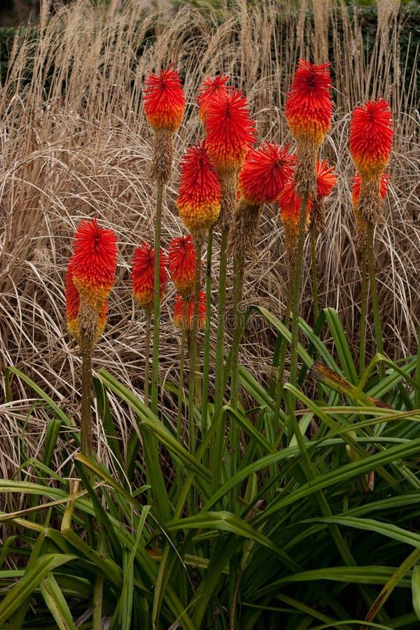 红色花叫Guilfoyle';s火山在植物园里 免版税库存图片